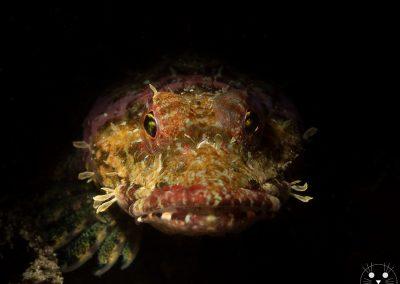 Coralline Sculpin